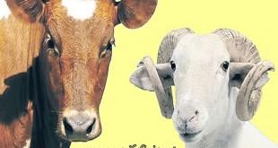 İyi Kurbanlık Hayvan Nasıl Alınır ?